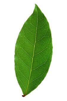 Free Laurel Leaf Royalty Free Stock Image - 17076076