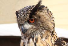 Free Owl Stock Image - 17077121
