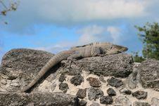 Iguana Iguana Royalty Free Stock Images