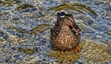 Free Duck Stock Photos - 17079563
