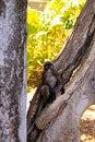 Free Dusky-Leaf Monkey In Tree Stock Images - 17080564