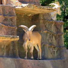 Free Barbary Sheep On Artificial Cliff Face Royalty Free Stock Images - 17080529