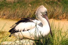 Australian Pelican - Pelecanus Conspicillatus Stock Image