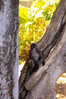 Free Dusky-Leaf Monkey In Tree Stock Images - 17080564