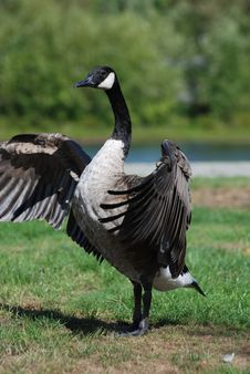 Free Close-up Canadian Goose Royalty Free Stock Photos - 17080678