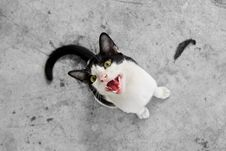 Black And White Cat Staring At Camera Royalty Free Stock Photo