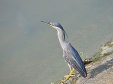 Free Great Blue Heron At The Edge Of River Royalty Free Stock Photography - 17081347