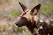 Wild Dog After The Hunt Stock Photo