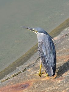 Free Resting Great Blue Heron Stock Photo - 17082350