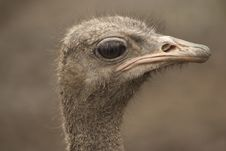 Free Ostrich Head Closeup Stock Photo - 17082730