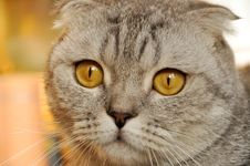 Free Lop-eared Cat Stock Photography - 17087142