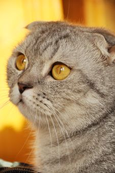 Free Lop-eared Cat Stock Photo - 17087160