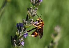 Free Wasp On A Lavender Flower Royalty Free Stock Photo - 17088005