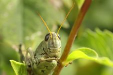 Free Differential Grasshopper Stock Image - 17089081