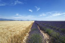 Free Lavender And Wheat Field Royalty Free Stock Images - 17091309