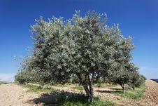 Free Olive Tree Royalty Free Stock Photo - 17091335