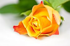 Free Orange Rose. Royalty Free Stock Image - 17092486