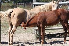 Free Momma Horse Nursing Baby Stock Images - 17093154