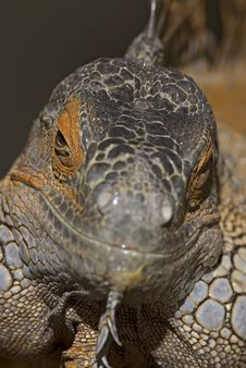 Free Lesser Antillean Iguana Stock Photography - 17095222