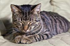 Free Beautiful European Cat Stock Photo - 17096190