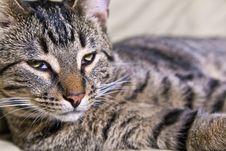 Free Beautiful European Cat Stock Photography - 17096202