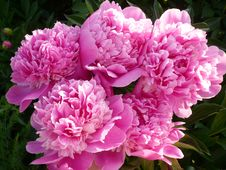 Free Pink Peonies Stock Photography - 17096332