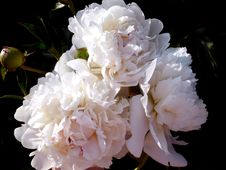 Free White Peonies Royalty Free Stock Images - 17096339