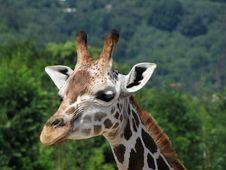 Free Head Of Giraffe Stock Photos - 17098813