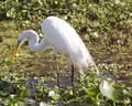 Free Great White Egret-winter Plumage Royalty Free Stock Images - 1713069