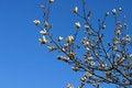 Free Magnolia Blooms Stock Image - 1714841