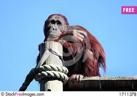 Daydreaming Orangutan Stock Photo