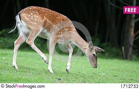 Walking Fallow Deer Stock Photo