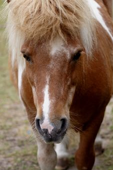 Brown Pony Royalty Free Stock Photos