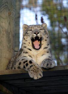 Free Snow Leopard Stock Photo - 1710990