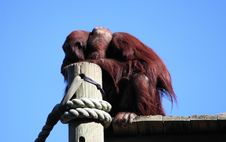 Free Bored Orangutan Stock Photography - 1711342