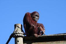 Free Bored Orangutan Royalty Free Stock Images - 1711349