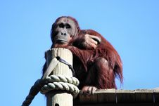 Daydreaming Orangutan Royalty Free Stock Photos