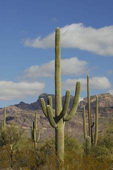 Saguaro Cactus At Organ Pipe Stock Photos