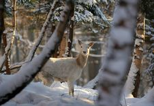 Free Fallow Deer In Winter Stock Images - 1712334