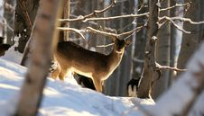 Male Fallow Deer In Winter Royalty Free Stock Photos
