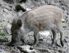 Free Wild Boar Royalty Free Stock Image - 1712366