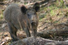 Free Wild Boar - Portrait Stock Photos - 1712413