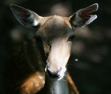 Front Portrait Of  Deer In Forest Stock Images