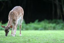 Free Sweet  Fallow Deer Stock Photo - 1712710