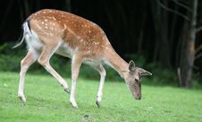 Free Walking Fallow Deer Stock Photos - 1712753