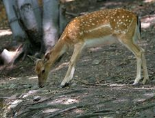 Free Brown Fallow Deer In Forest Stock Photography - 1712762