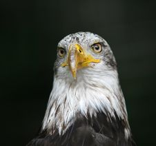 Free American Eagle - Bird  Portrait Royalty Free Stock Image - 1712916