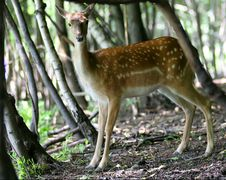 Free Brown Fallow Deer In Forest Royalty Free Stock Photography - 1712937