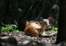 Free Rest Of Fallow Deer In Forest Stock Photography - 1712942