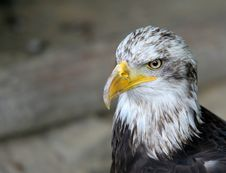 Free American Eagle - Bird  Portrait Royalty Free Stock Images - 1713019